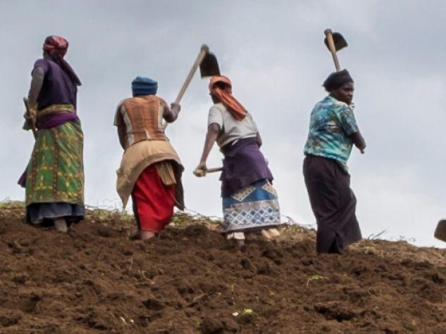 Dintorni di Kibuye: donne contadine impegnate nella zappatura di una piantagione di tè