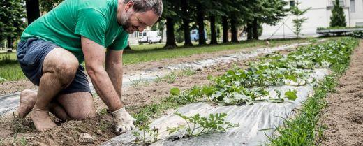 Fra Alex ripulisce dalle erbacce l'orto della comunità francescana di Noventa Padovana.