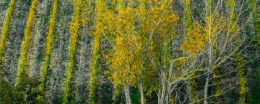 vigna di Chianti in autunno