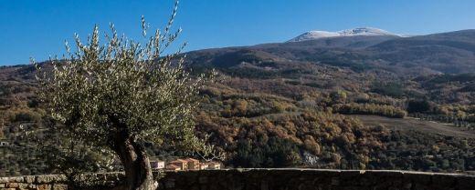 L'olivo di Seggiano