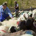 Durante la transumanza le pecore vengono macchiate con alcuni colori per poterle distinguere. - Aldo e Marco Pavan