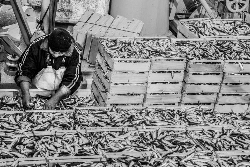 Un pescatore sistema le cassette di pesce azzurro