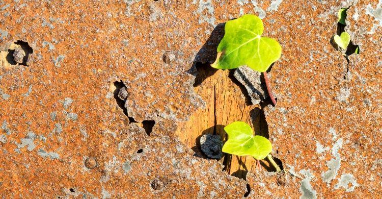 l'edera cresce bucando il metallo